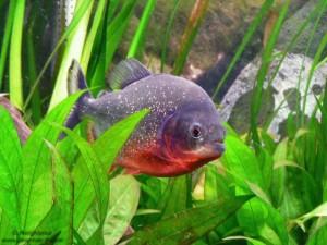 piranha d'amazonie, Equateur - Blog voyage Trace Ta Route
