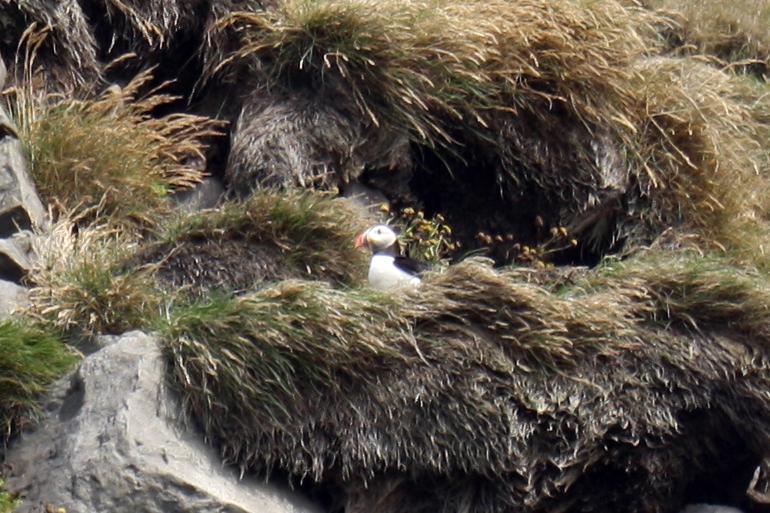 Macareux à Reynisfjara, vers Dyrholaey, Islande