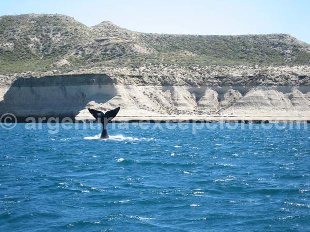 Baleines autour de la péninsule de Valdes en Argentine - Trace Ta Route