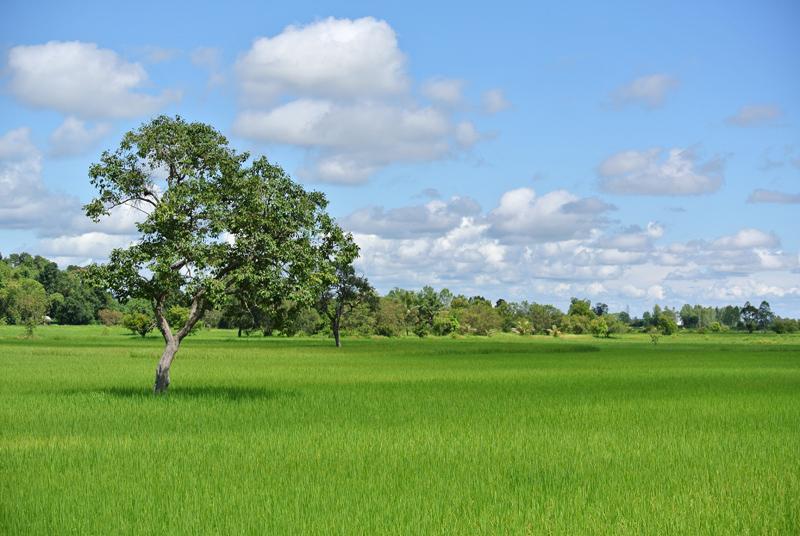issan paysage de rizière arbre et ciel bleu
