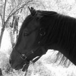 Azel cheval marocain - blog voyage trace ta route