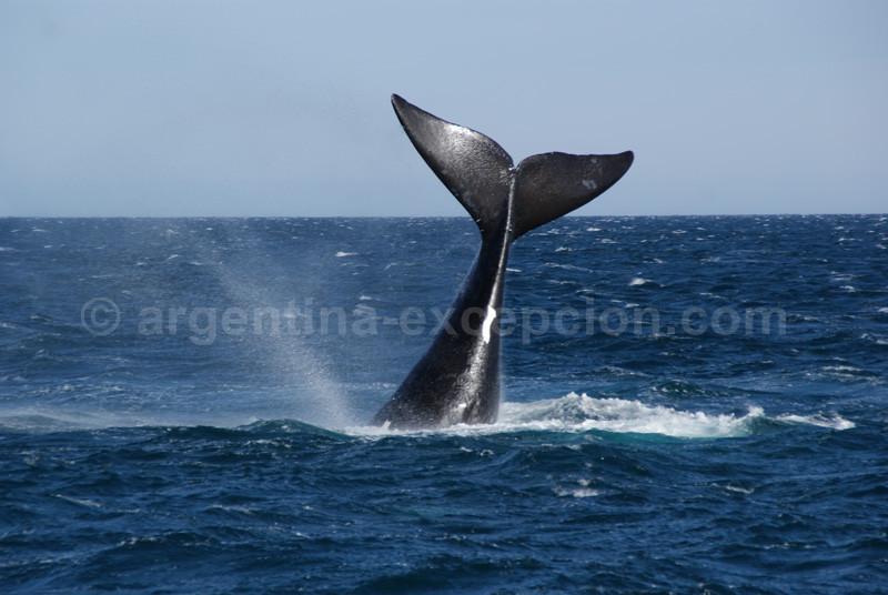 baleine valdes patagonie blg voyage trace ta route