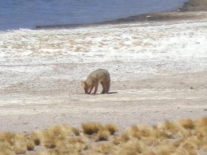 lagunas altiplanicas san pedro de atacama renard blog voyage trace ta route