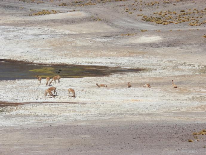 lagunas altiplanicas san pedro de atacama vigognes blog voyage trace ta route