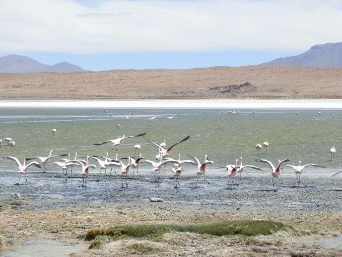 flamands roses laguna hedionda sud lipez uyuni bolivie blog voyage trace ta route