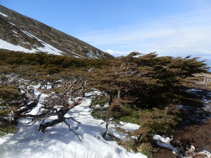 arbres couchés par le vent au glacier martial - ushuaïa blog voyage