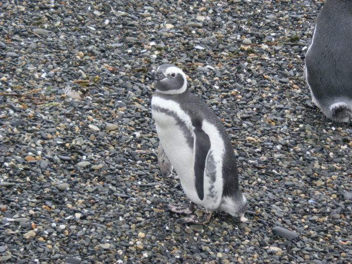 manchot de magellan sur la plage de l'isla martillo en terre de feu sur le canal de beagle