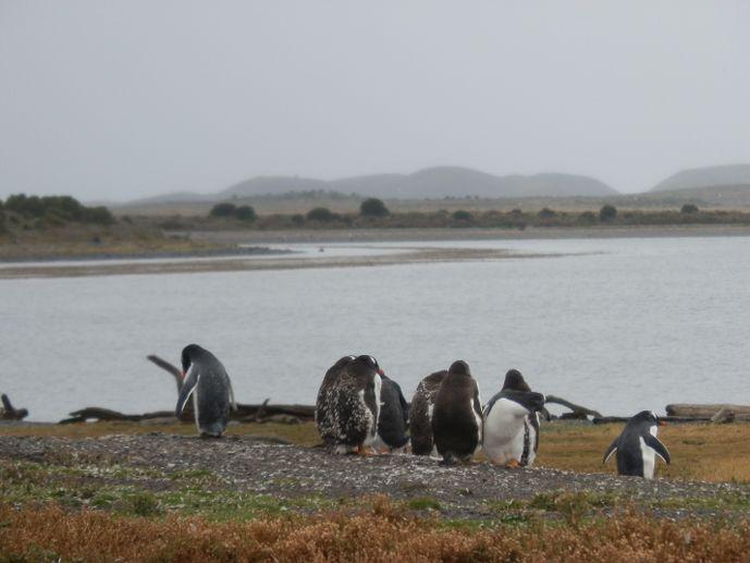 manchots isla martillo canal beagle ushuaia