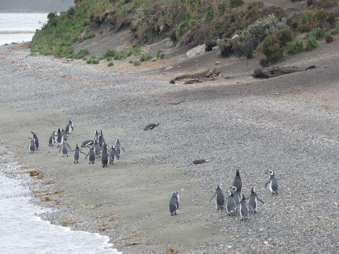 manchot de magellan sur la plage de l'isla martillo ushuaia canal beagle
