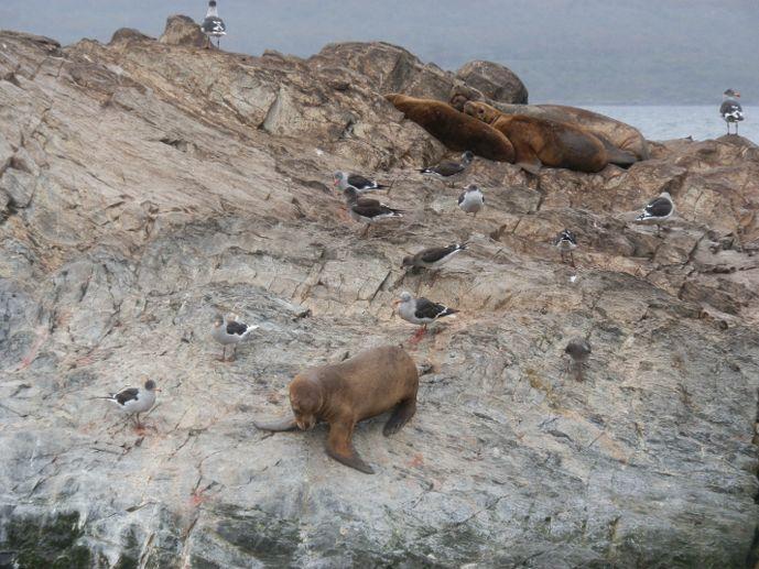 otarie canal de beagle ushuaia