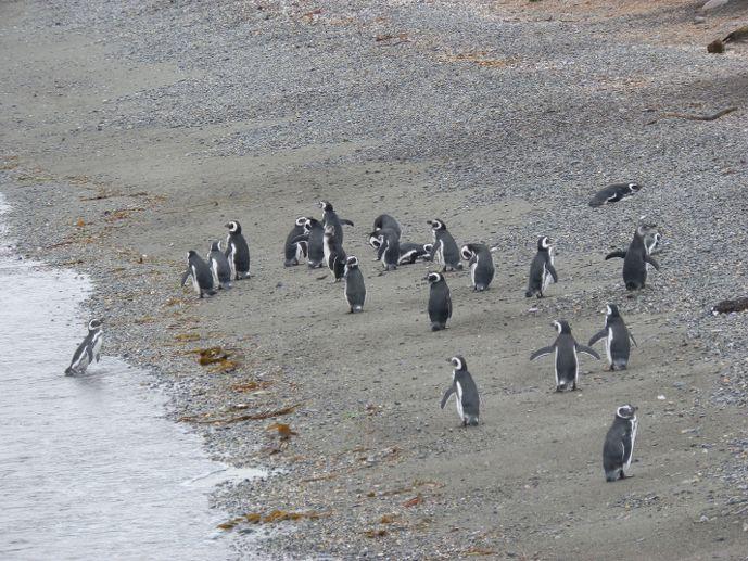 pingouins magellan sur la plage île Martillo ushuaïa blog voyage