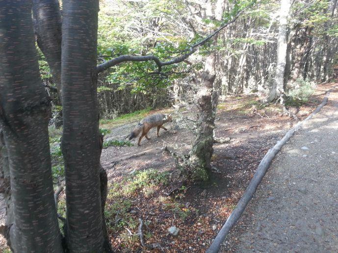 renard magellan dans le parc national de la terre de feu blog voyage