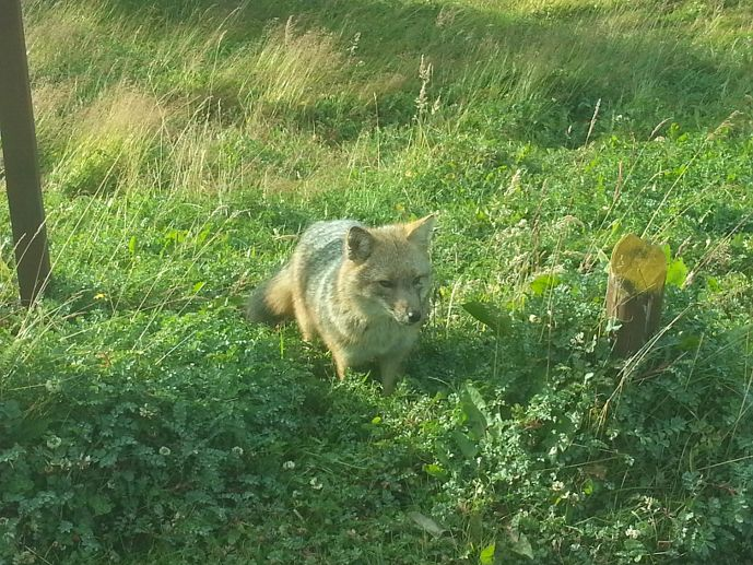 renard magellan parc national terre de feu