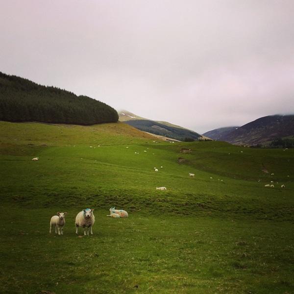 circuit en Ecosse : les highlands et ses moutons en prairie