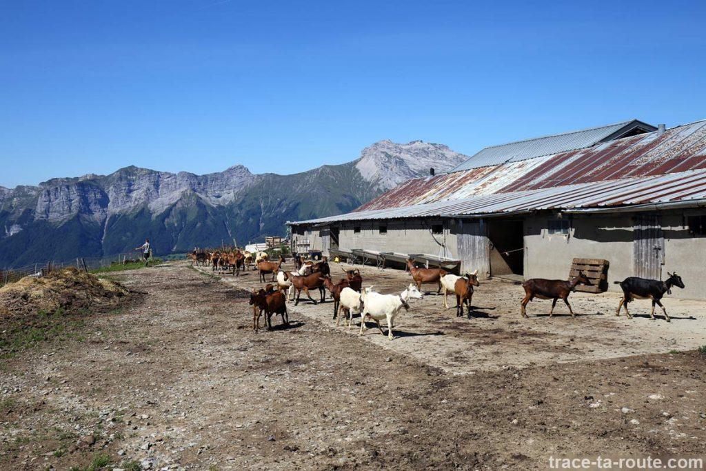 Chèvres du Chalet de l'Aulp de Marlens sous le Mont Charvin