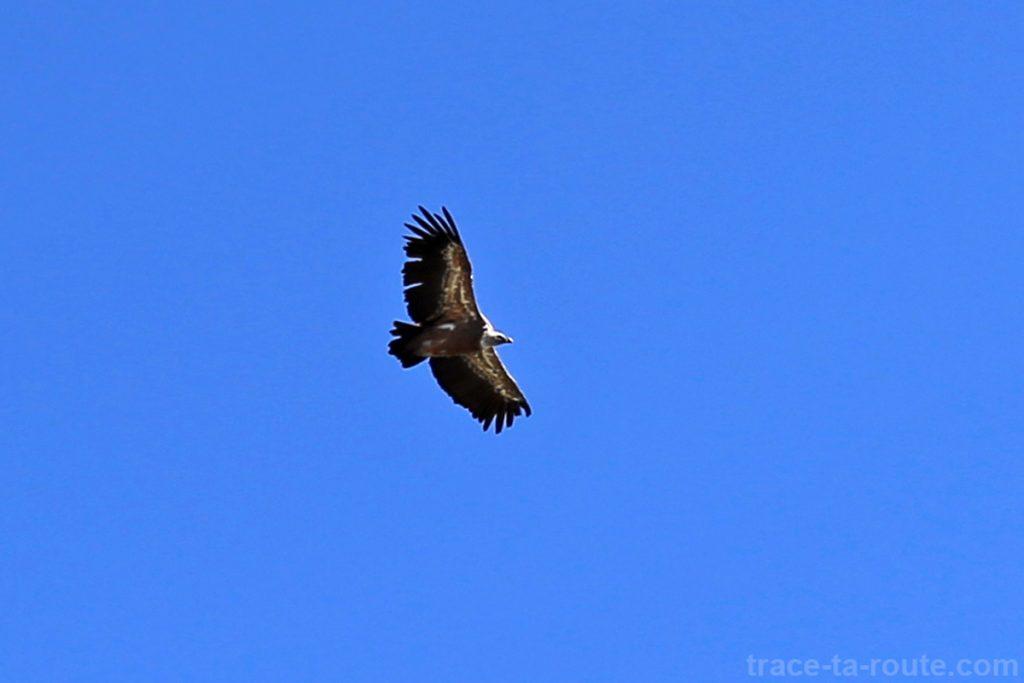 Vol d'un vautour fauve au-dessus du Mont Charvin