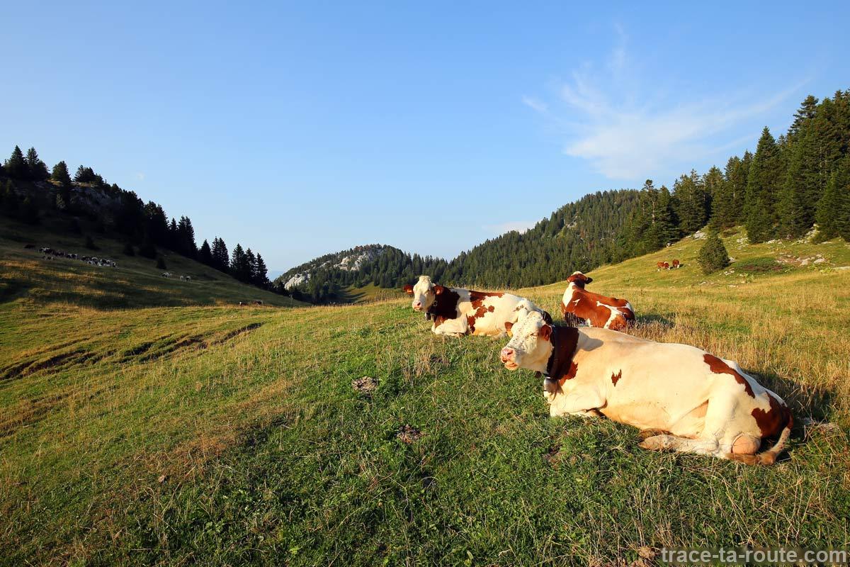 Vaches de l'alpage de l'Anglettaz