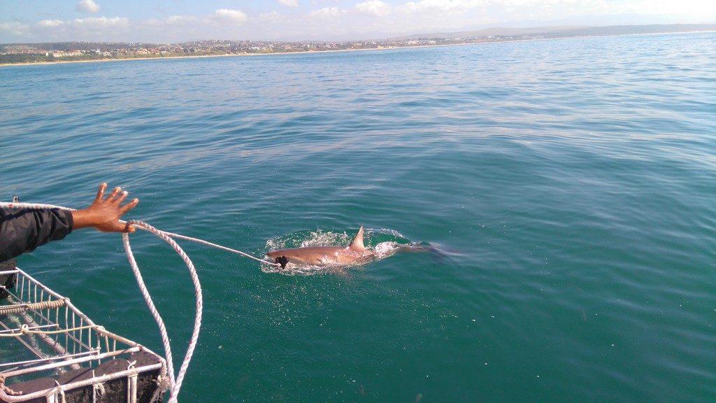 afriquedusud-mossel-bay-port-requin-cage3