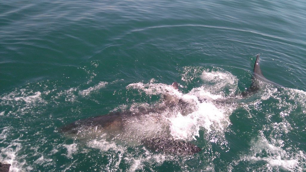 afriquedusud-mossel-bay-port-requin-cage5