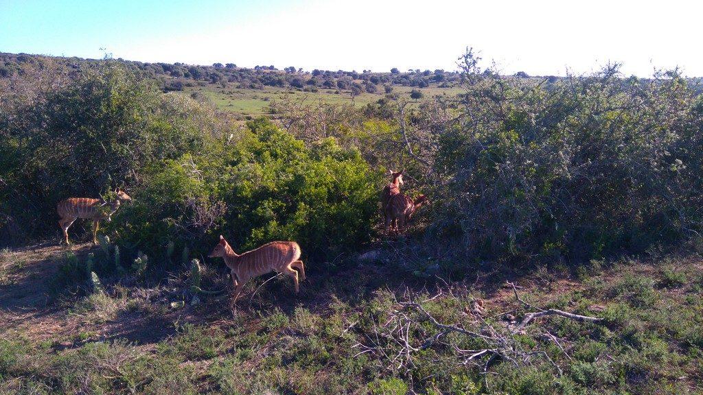 afriquedusud-port-elizabeth-schotia-private-game-antelope