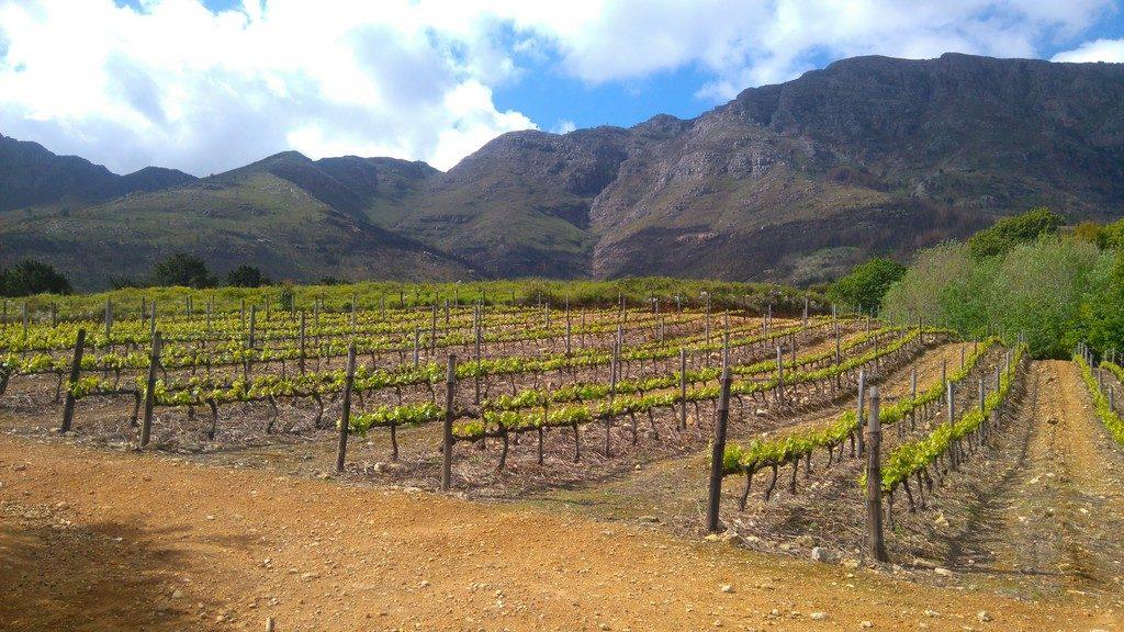 afriquedusud-stellenbosh-vin-vigne