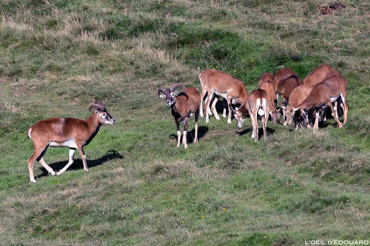Troupeau de mouflons dans le Massif de la Chartreuse © L'Oeil d'Édouard