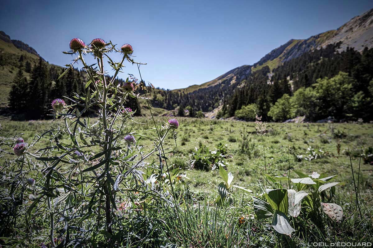 Chardon en fleurs dans La Prairie vers le Col de la Sure - Massif de la Chartreuse © L'Oeil d'Édouard