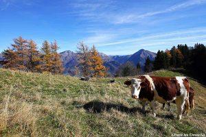 Vache en alpage sous le Mont Colombier - Massif des Bauges, Savoie