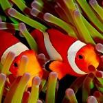poisson clown koh tao thailande