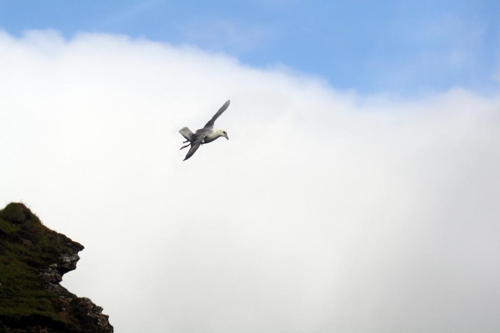 Mouette tridactyle à Vík i Myrdal Islande Iceland bird Islenk