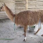 Beau Lama à la Mitad del Mundo, Equateur - Trace Ta Route - Blog voyage