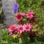 Joubarbe des Montagnes - Fleurs de montagne
