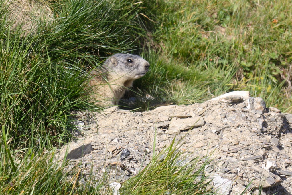 Marmotte aux Roches Merles