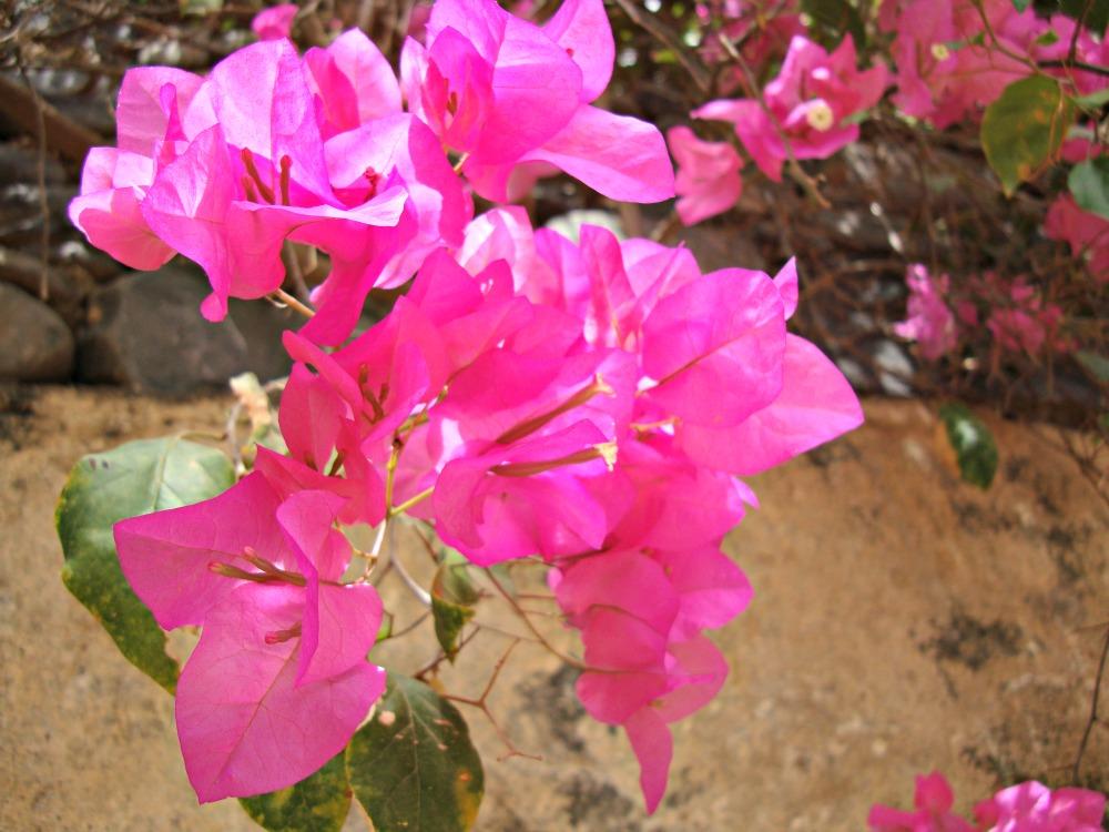 Bougainvilliers Fleurs Île de Gorée Sénégal Afrique