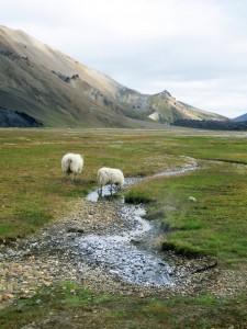 Moutons de Vondugil à Landmannalaugar, Islande