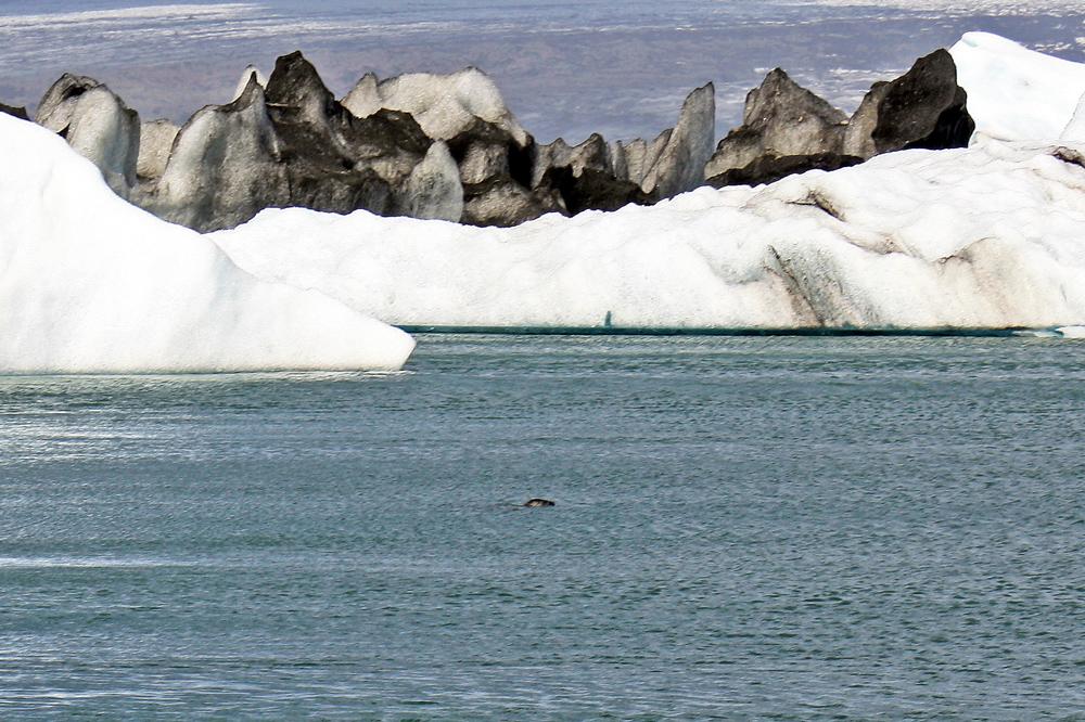 Phoque dans le lagon de Jokulsarlon, Islande