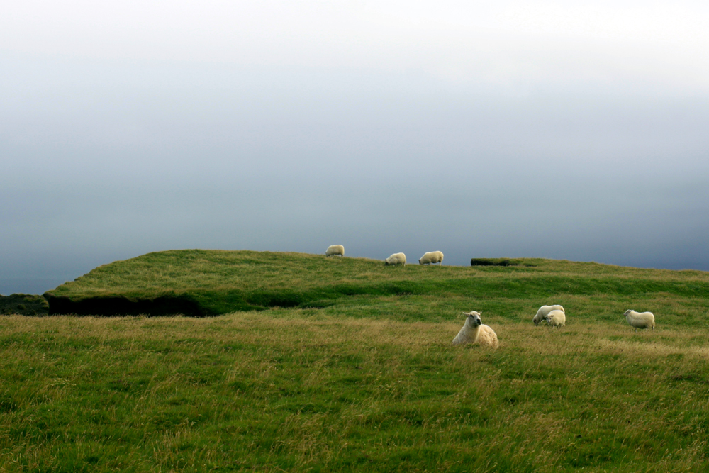 Moutons sur Reynisfjall (Vik i Myrdal)