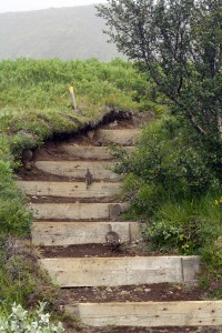 Famille d'oiseaux sur un sentier de Skaftafell, Islande