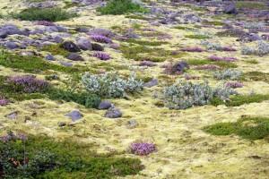 Végétation à Skaftafell, Islande