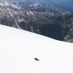Marmotte affamée au pied de la Pointe de la Réchasse (Parc National de la Vanoise)