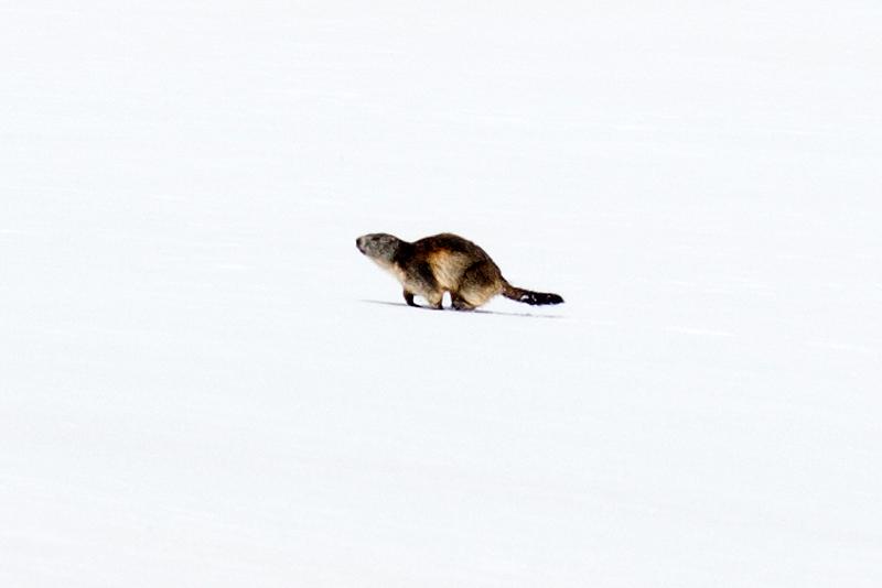 Marmotte qui cherche de la nourriture après l'hibernation (Parc National de la Vanoise)