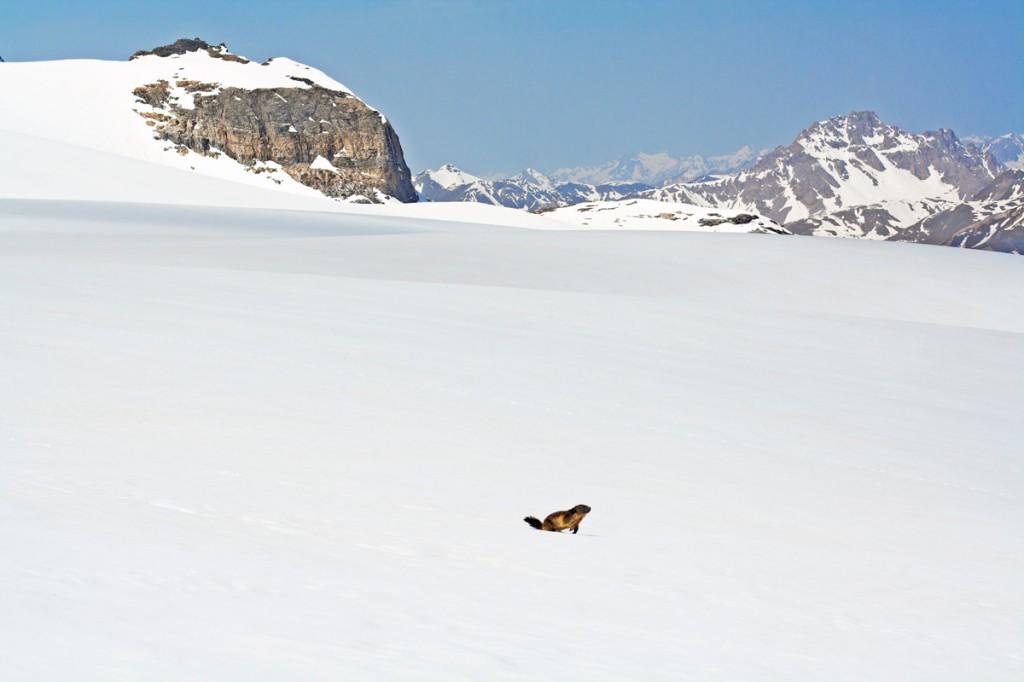 Marmotte affamée aux abords du Glacier de la Roche Ferran (Parc National de la Vanoise)