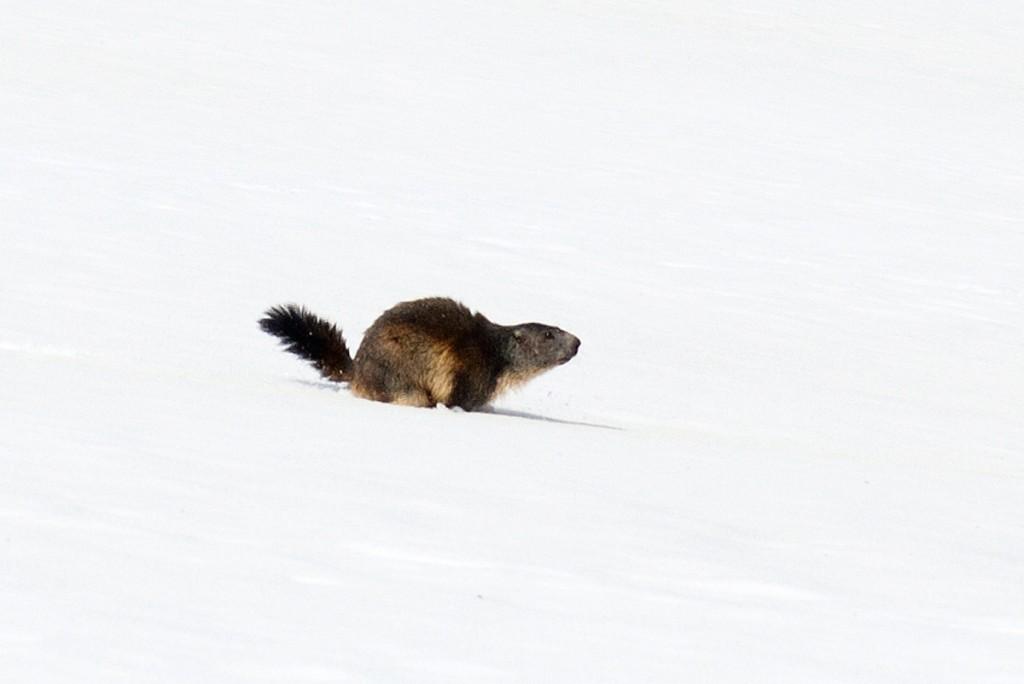 Marmotte affamée après l'hiver (Parc National de la Vanoise)