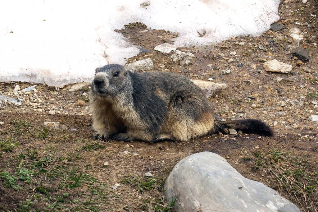 Marmotte au Parc de la Vanoise