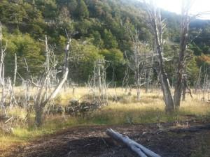 bois rongés par les castor en terre de feu blog voyage