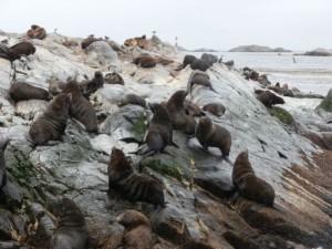 grosses otaries canal de beagle ushuaia