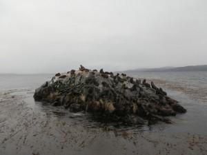 isla de los lobos otarie canal beagle ushuaia