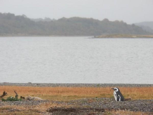 manchots de magellan dans leur terrier sur l'ile martillo canal de beagle terre de feu ushuaia