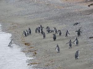manchots de magellan sortant de l'eau sur la plage de l'isla martillo terre de feu