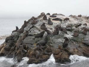 otaries sur la isla de los lobos a ushuaia sur le canal beagle